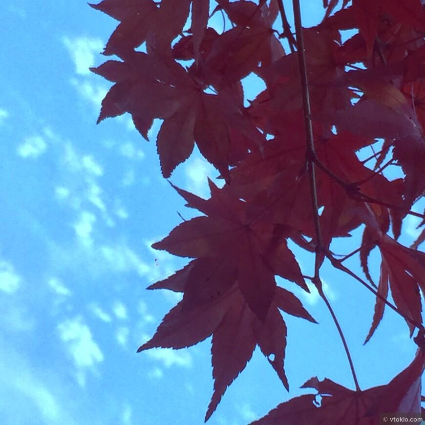 Клёны. Лучше всего осенью в Киото