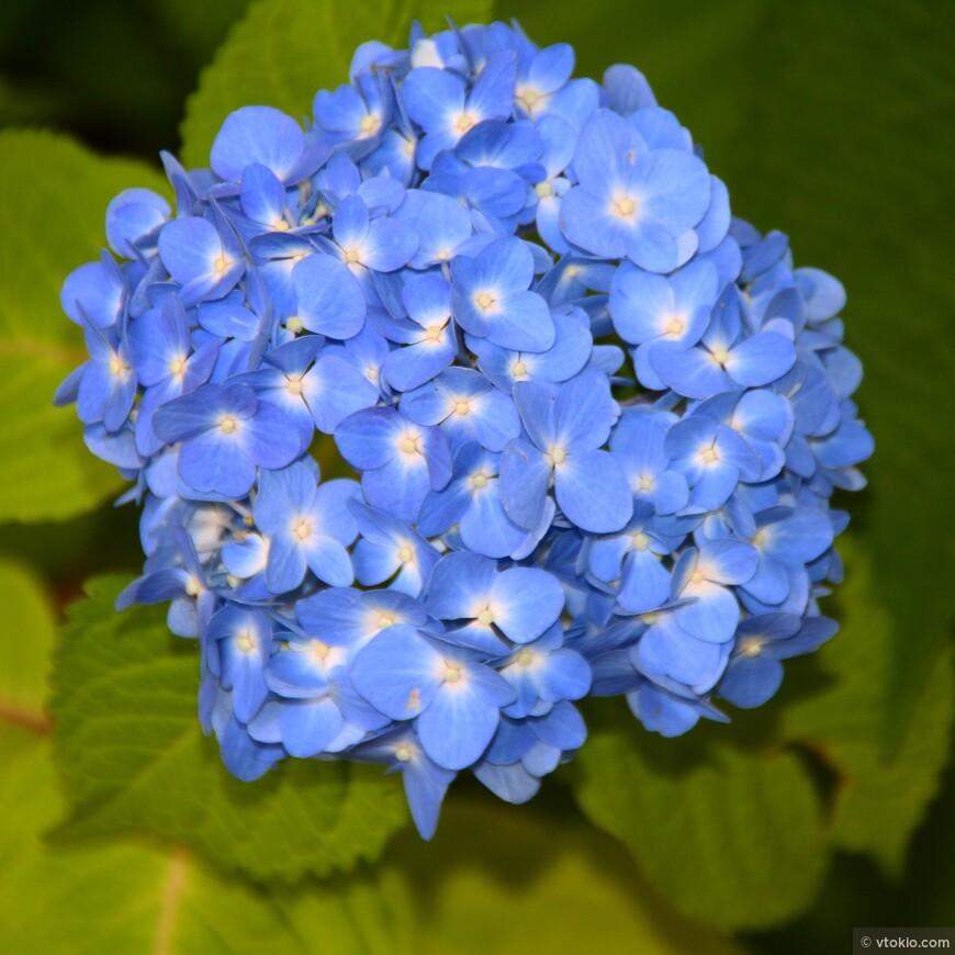 Весна сезон цветения Гортензии.