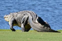 Аллигатор напал на ребенка в парке развлечений во Флориде