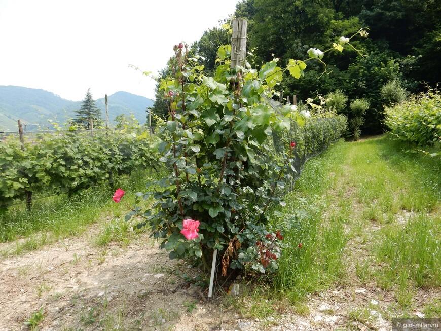 Вдоль виноградников от Доломитов до Сицилии вы найдете посаженные розы. Это вообще-то не для красоты. Розы болеют теми же болезнями, что и виноградники, и более деликатны. Поэтому они работают индикаторами здоровья.