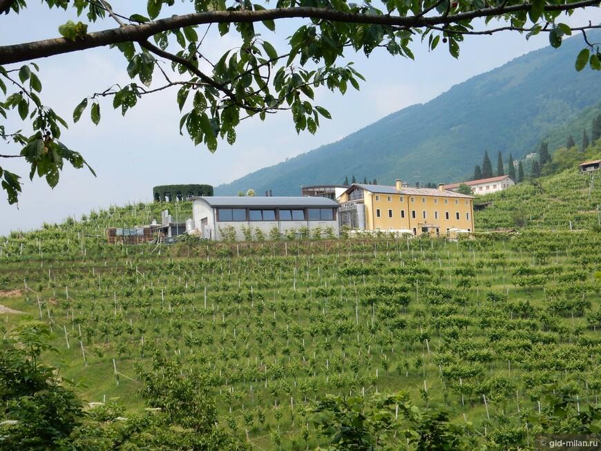 Винодельческий детский сад, в среднем нужно около 4 лет, чтобы виноградник начал плодоносить.