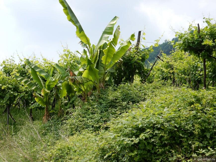 Немного банановая плантация. Бананы вездесущи как сорняки.