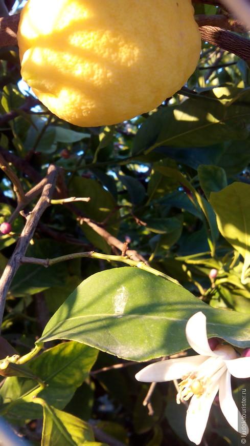 Домашний лимончик