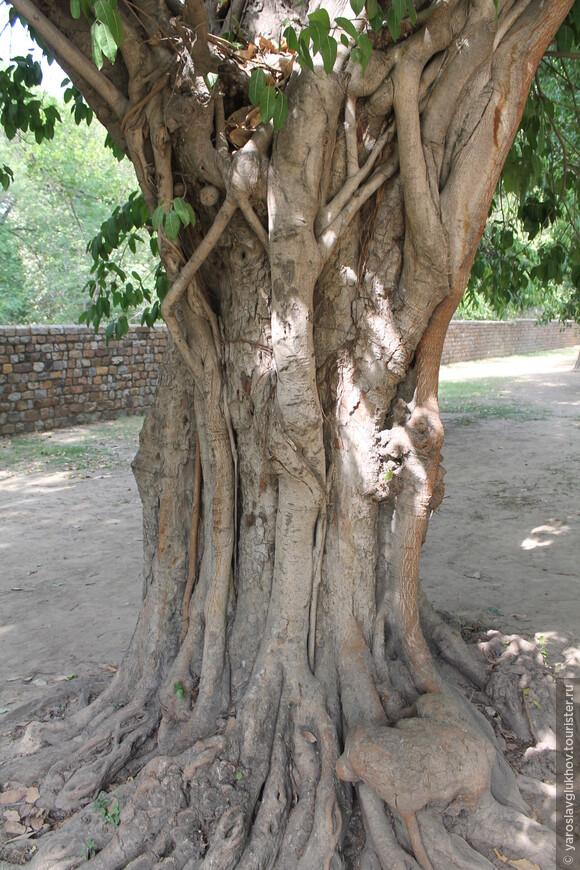 По пути встречаются очень интересные деревья.