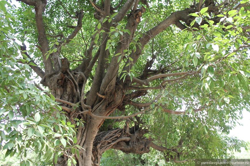 Вся аллея состоит из таких необычных экзотических деревьев.