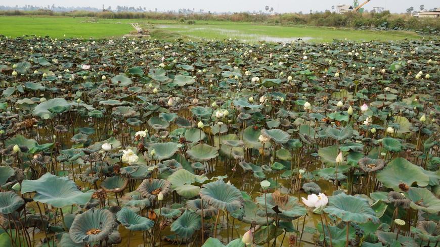 """Сием-Рип, по пути к озеру Тонлесап заехали на частную ферму лотосов, из семян которых делают мыло, ароматизаторы, украшения,  а также эти """"орешки"""" употребляют в пищу."""