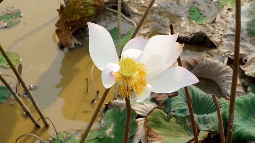 Цветок лотоса со временем опадает, а сердцевина растет, именно в ней и содержатся семена лотоса.