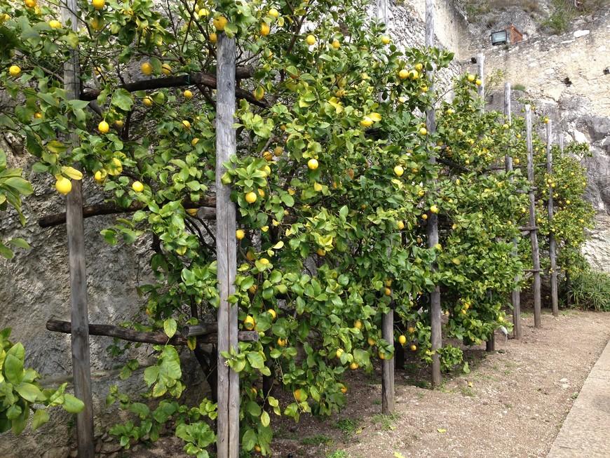 В музее лимонов представлены различные сорта лимонов и другие цитрусовые