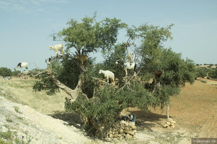 Знаменитые козы Марокко, Правда этих специально каждый день сажают на это дерево у дороги, чтобы туристы могли сфотографироваться, но пока мы переезжали из города в город я видел и реально самостоятельных, которые без посторонней помощи лазали по деревьям
