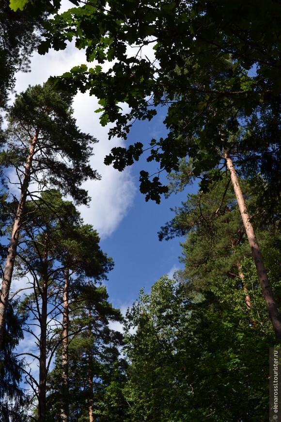 Это высь. Деревья упираются в небеса.  Увидеть верхушки трудно - нужно запрокинуть голову. Облака плывут-плывут.