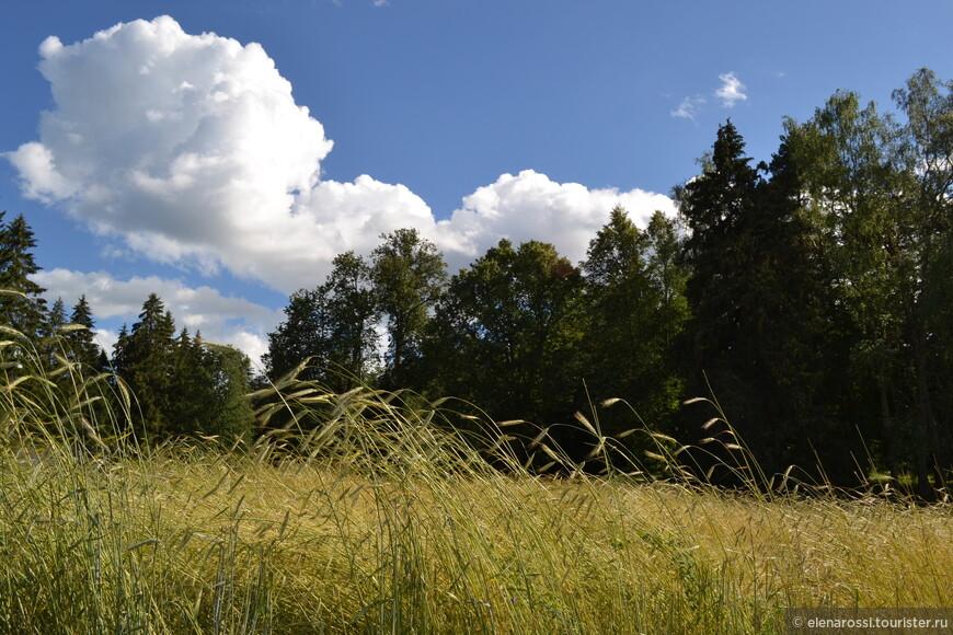 А иногда налетит теплый ветер и взъерошит колосья, что еще набирают силу. Русское поле.