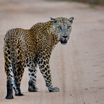 9NO_6155_Цейлонский леопард, Panthera pardus kotiya, Sri Lankan leopard.JPG