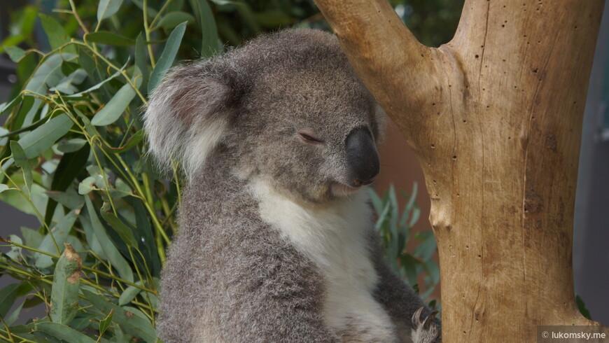 Коала ест листья эвкалипта и спит по 20 часов в сутки. Мечта?