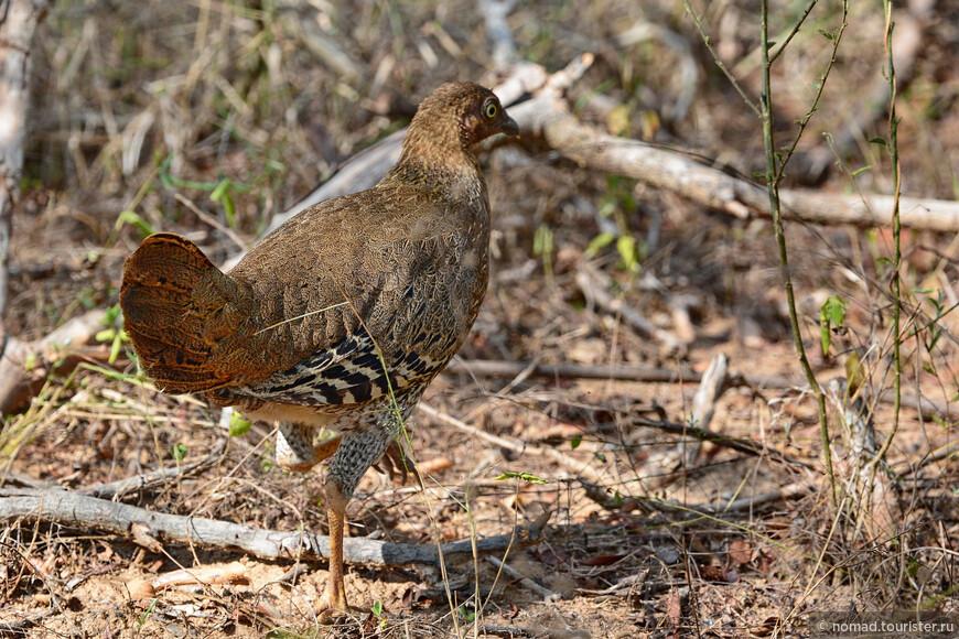 Цейлонская джунглевая курица, Gallus lafayetii, Sri Lanka Junglefowl