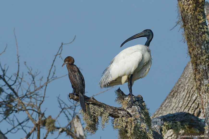 Черноголовый ибис, Threskiornis melanocephalus, Black-headed Ibis