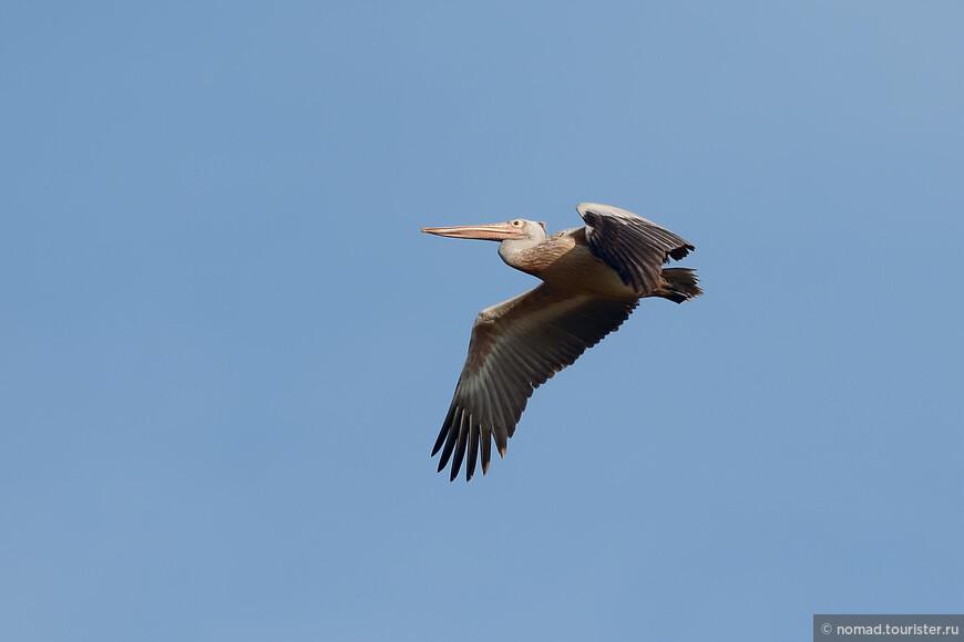 Серый пеликан, Pelecanus philippensis, Spot-billed Pelican