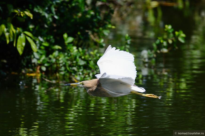 Индийская желтая цапля, Ardeola grauii, Indian Pond Heron