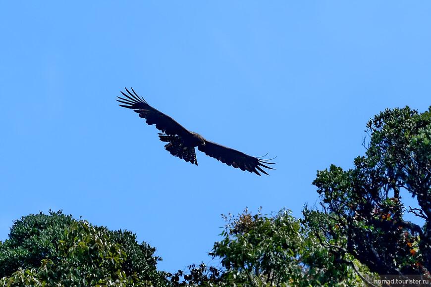 Орел-яйцеед, Ictinaetus malayensis, Black Eagle