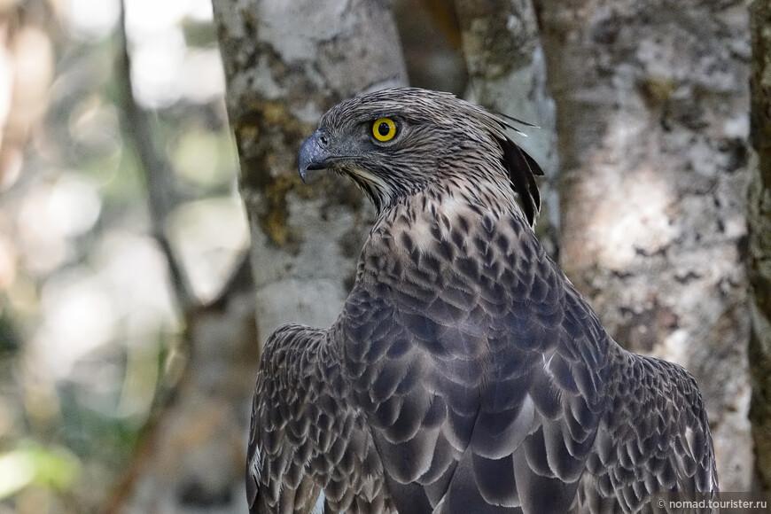 Изменчивый хохлатый орел, Nisaetus limnaeetus, Changeable Hawk Eagle