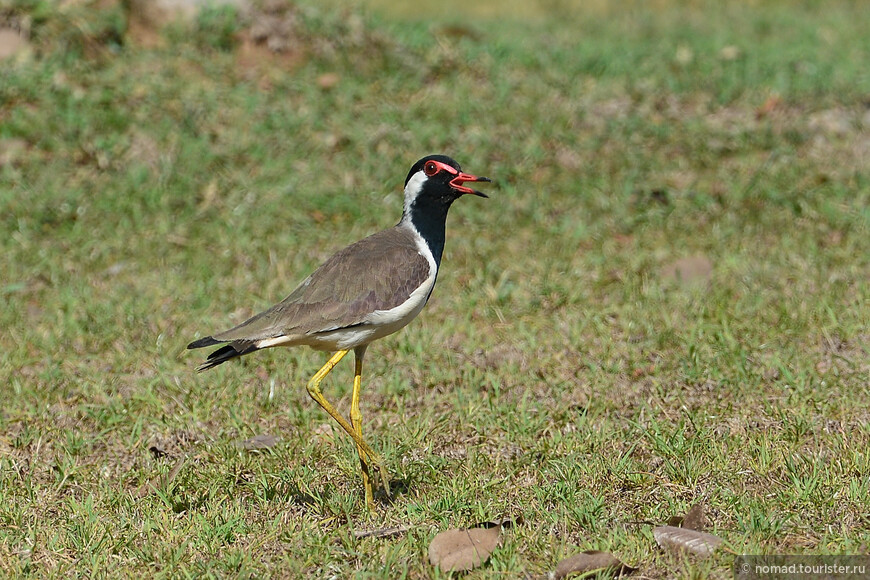 Украшенный чибис, Vanellus indicus, Red-wattled Lapwing