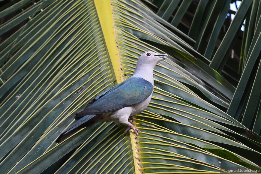 Мускатный плодоядный голубь, Ducula aenea, Green Imperial-Pigeon