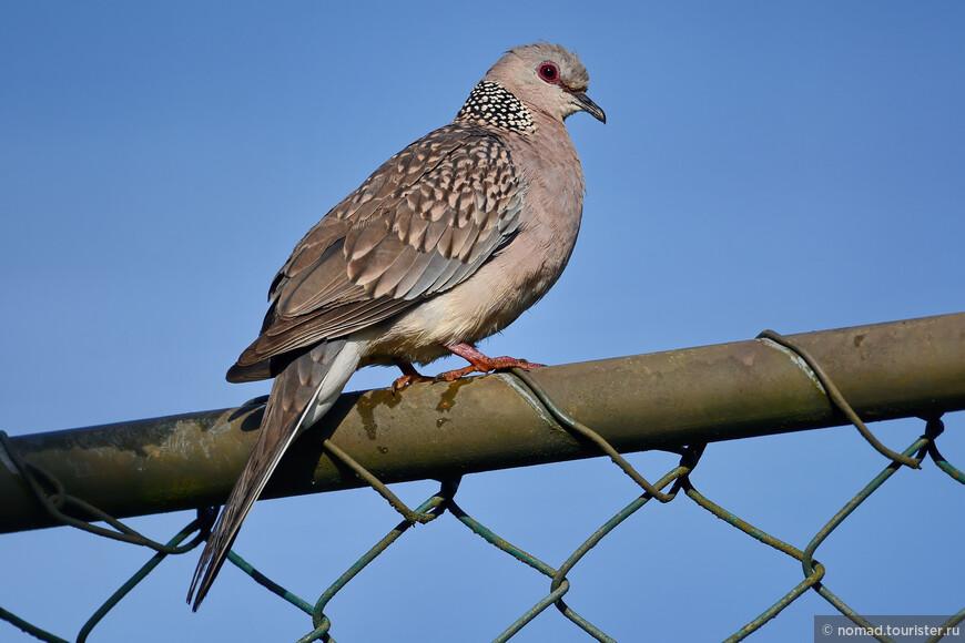 Пятнистая горлица, Streptopelia chinensis, Spotted Dove