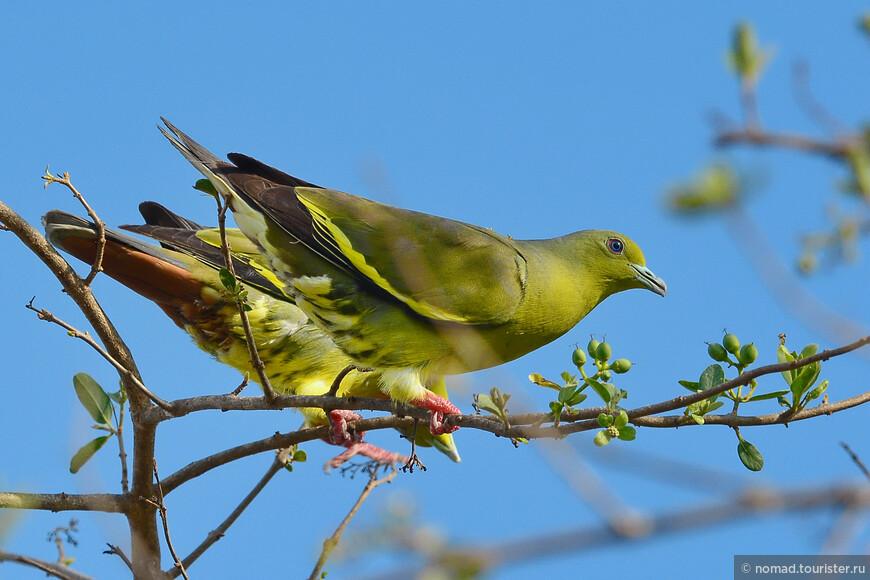 Полосатохвостый зеленый голубь, Treron bicincta, Orange-breasted Green Pigeon