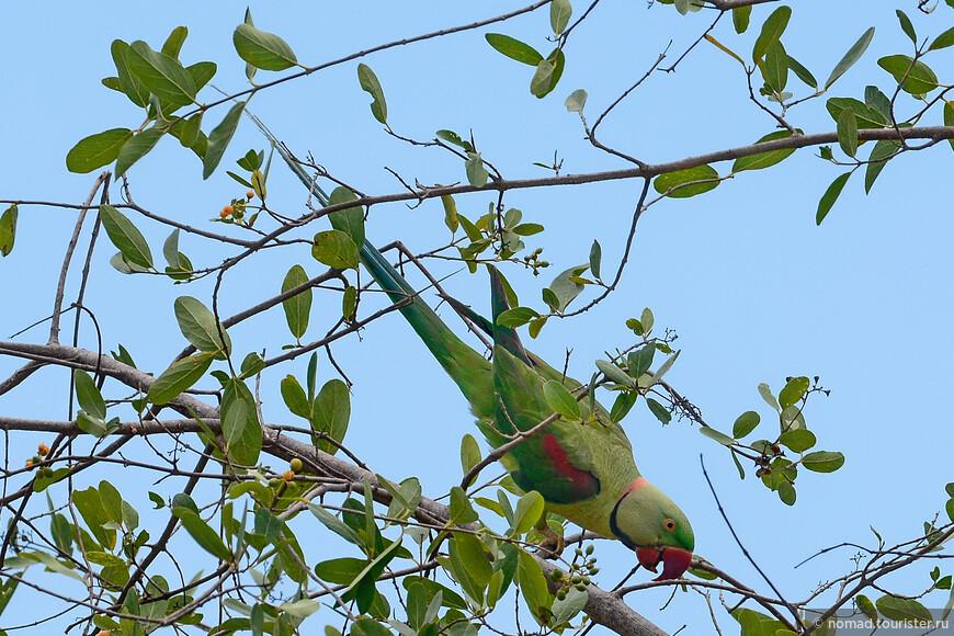 Александрийский попугай, Psittacula eupatria, Alexandrine Parakeet
