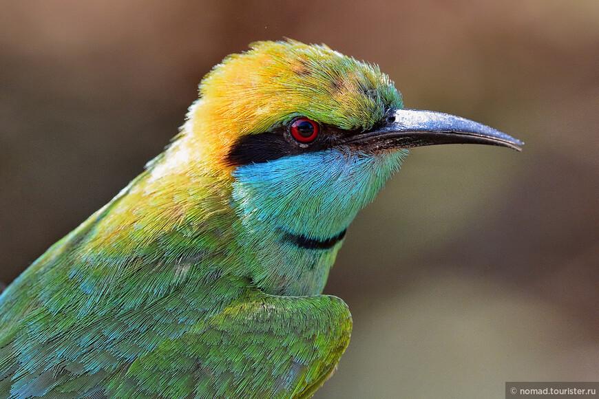 Малая зеленая щурка, Merops orientalis, Little Green Bee-eater