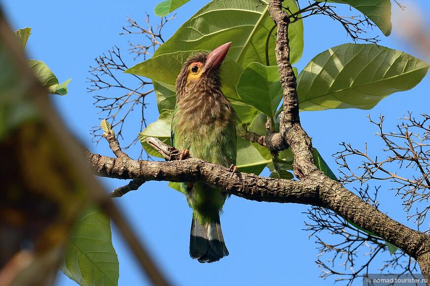 Цейлонский бородастик, Megalaima zeylanica, Brown-headed Barbet