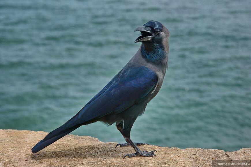 Блестящий ворон, Corvus splendens, House Crow