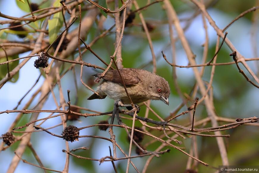 Толстоклювый цветоед, Dicaeum agile, Thick-billed Flowerpecker