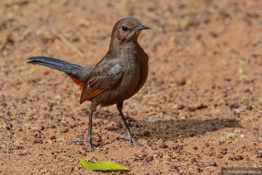Индийский чекан, Saxicoloides fulicatus, Indian Robin