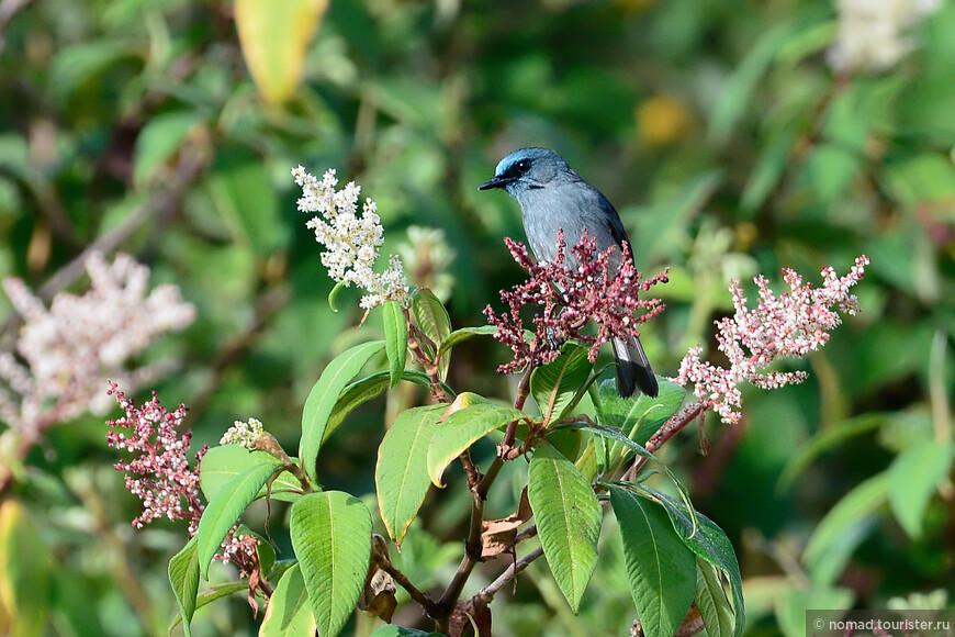 Однотонная лазурная мухоловка, Eumyias sordidus, Dull-blue Flycatcher