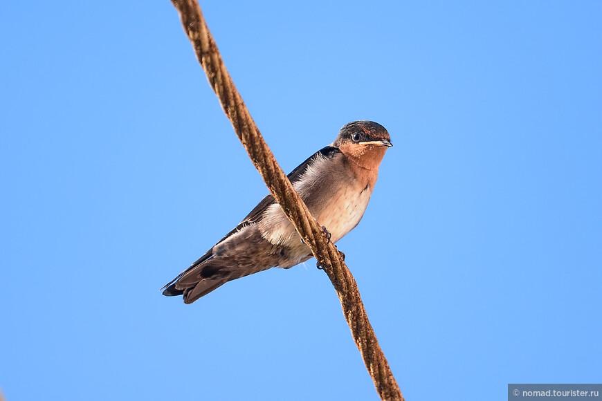Коричневогорлая горная ласточка, Hirundo tahitica domicola, Hill Swallow