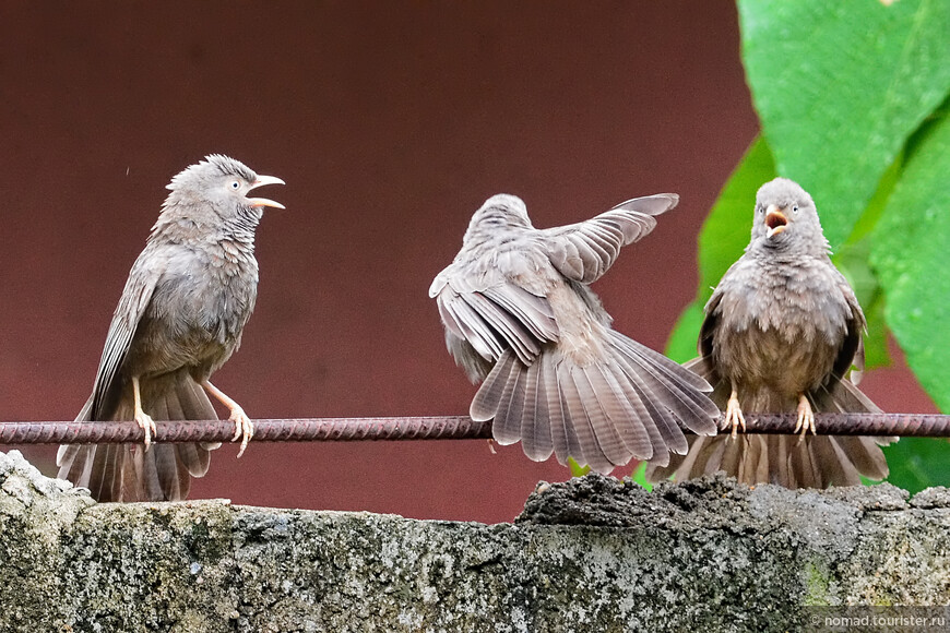 Желтоклювая дроздовая тимелия, Turdoides affinis, Yellow-billed Babbler