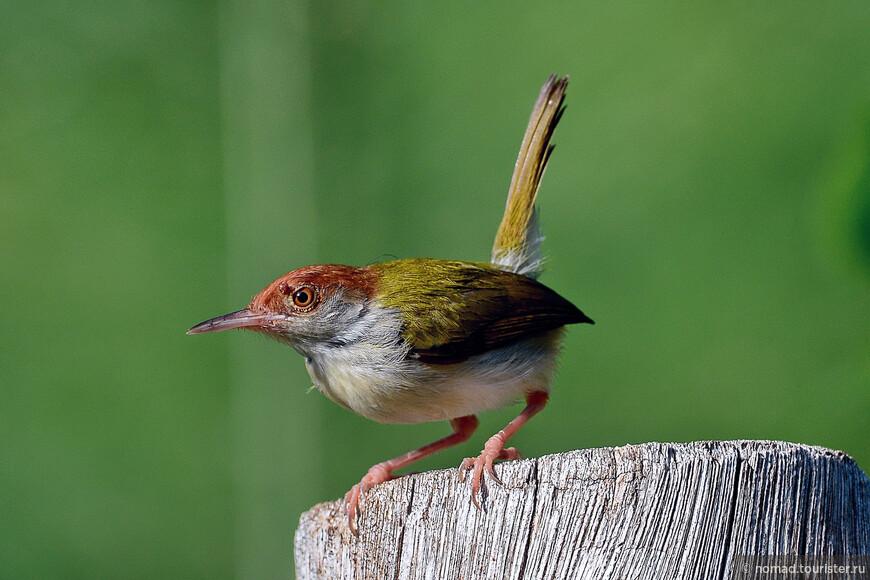Обыкновенный портной, Orthotomus sutorius, Common Tailorbird