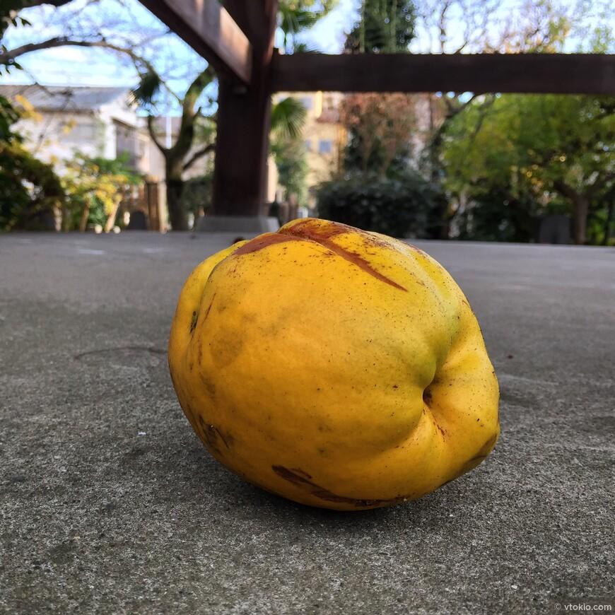 В Токио растёт множество фруктов, абсолютно в декоративных целях. Тут и гранаты и хурма и яблоки. А вот это наверное айва. Был очень твёрдый но пах приятно