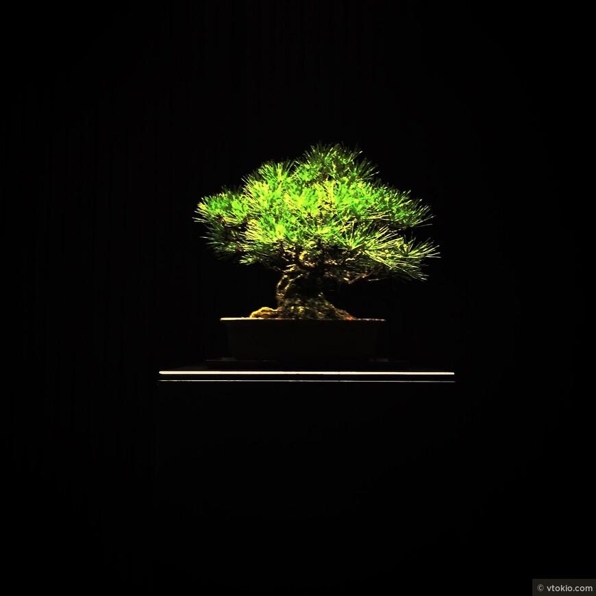 Бонасай. Такому деревцу вполне может быть 400 лет.