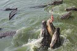 В Паттайе закрылась крокодилья ферма