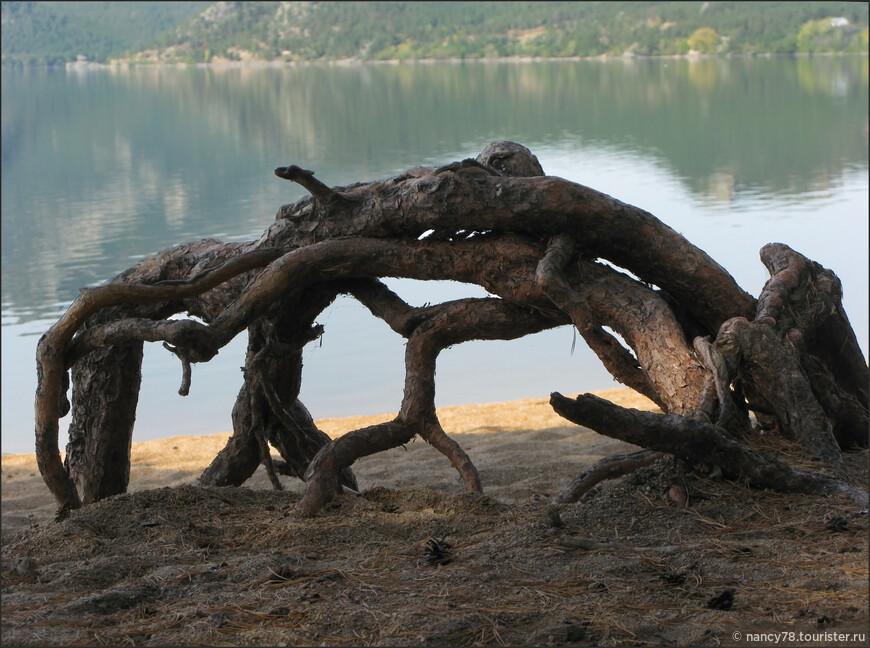Причудливые корни сосны.