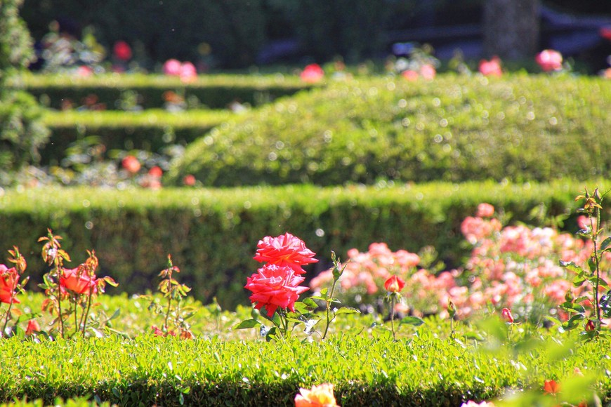 Розы в Шанхае везде. Парки пахнут розовыми ароматами,усиливающимися ближе к вечеру.