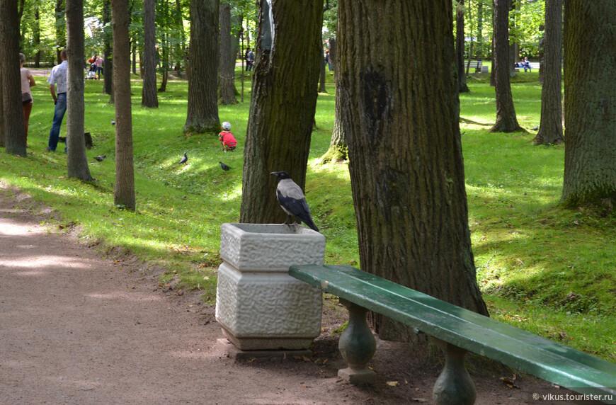 Вороны в парке упитанные. Видно, что живется им тут хорошо.