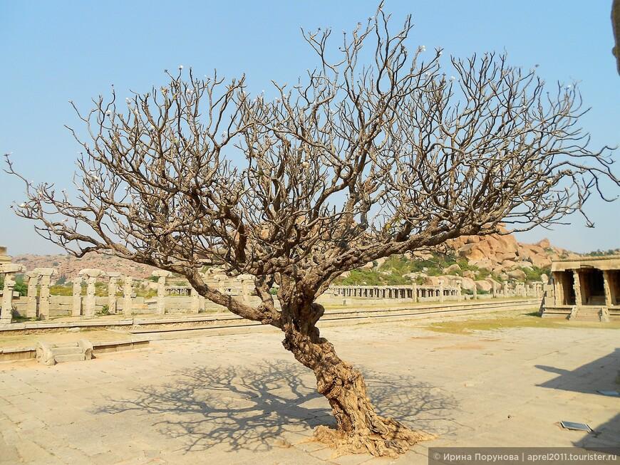 Интересное дерево в Хампи.