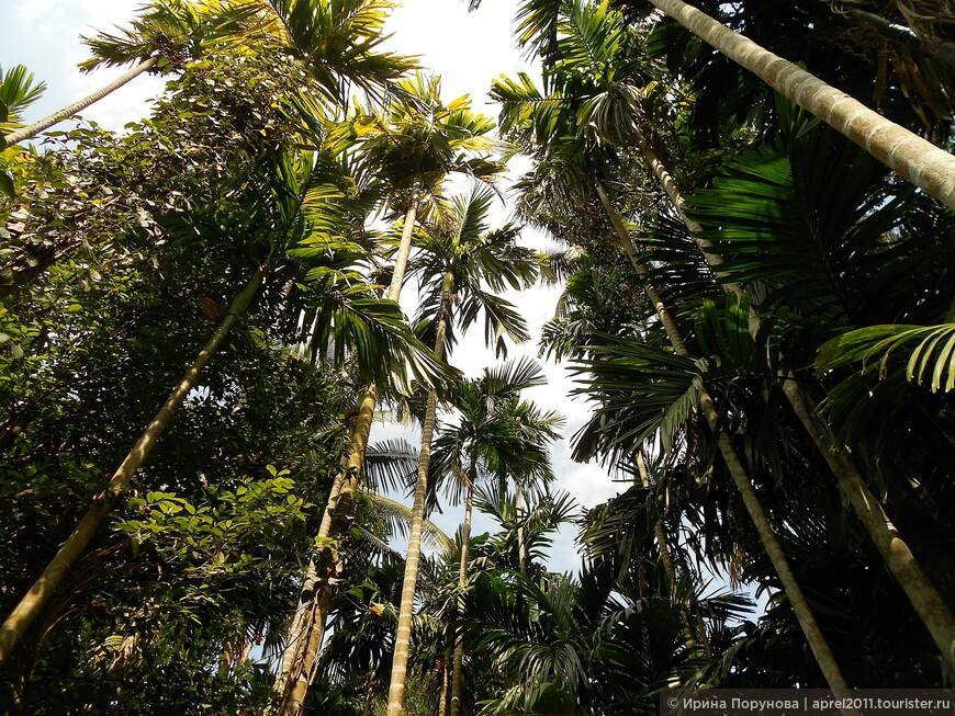 Плантация специй в Гоа. Никогда не думала, что деревья на плантации будут такими высокими...