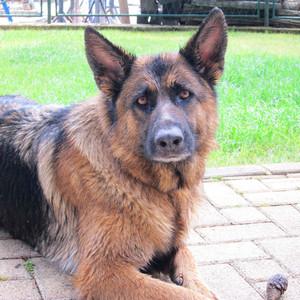 Однажды я встретила на нашем месте вот этого замечательно пса, которого долго гладила. Его хозяева - немцы, видимо, приехали в Зелену лагуну на машине.