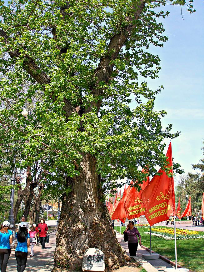 Мемориальный тополь - единственное дерево пережившее войну.