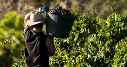 Туристы платят испанской винодельне за возможность поработать