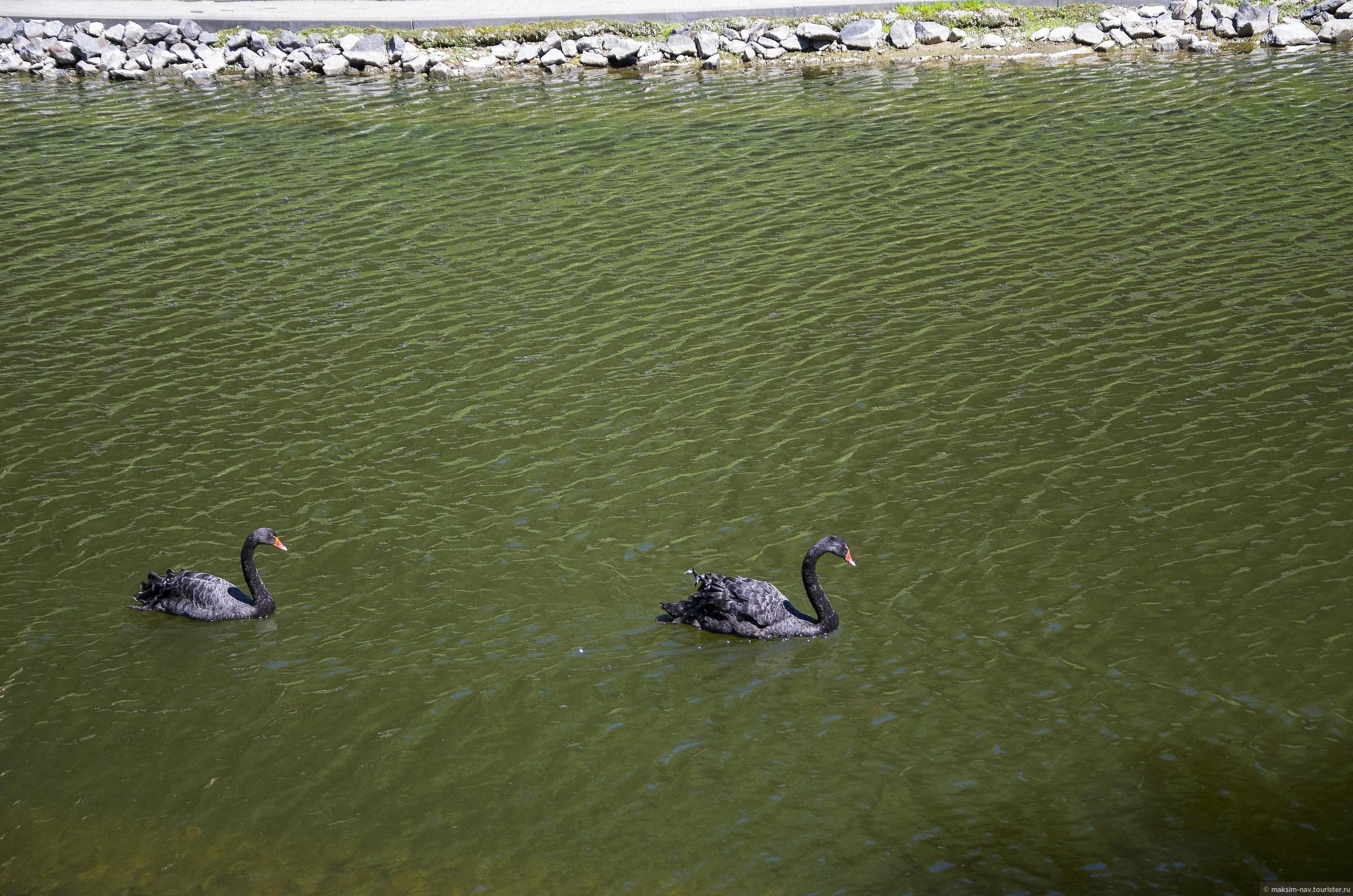 Чёрные лебеди, помимо окраски оперения, отличаются от своих ближайших родственников более длинной шеей за счёт  бОльшего количества шейных позвонков., Гомельский дворцово-парковый ансамбль.