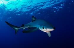 Россиянин в Индонезии спас акулу от рыбаков